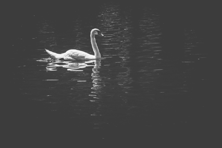 Lonely Swan #151