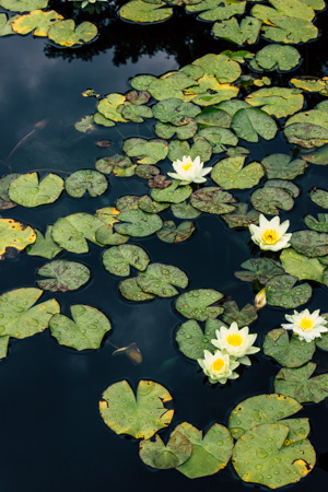 Lily Pads #168